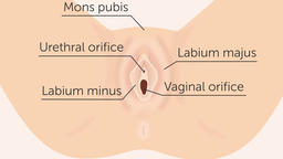 The structure of external female genital organs. Gynecology 2d animation Animation