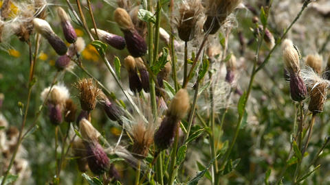 dry seed of thistle Live Action