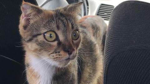 alert scared cat face in the car Footage