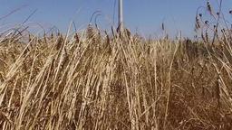 eolic turbine wind renewable energy farm in wheat field steady shot Footage