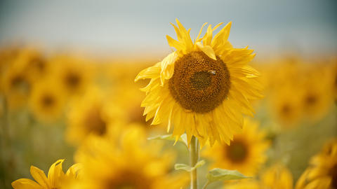 A bright yellow field of sunflowers - the bee sitting on the flower and Live Action