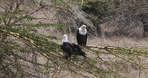 African Fish-Eagle, haliaeetus vocifer, Adult and Immature standing on a Branch, Naivasha Lake in Live Action