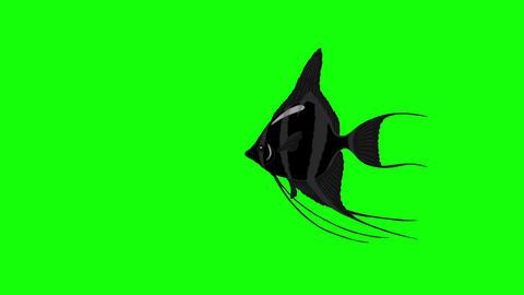 Small Black Scalare Angelfish Chroma Key Animation