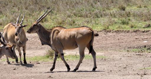 Cape Eland, taurotragus oryx, Nairobi Park in Kenya, Masai Mara Park in Kenya, Real Time 4K Footage