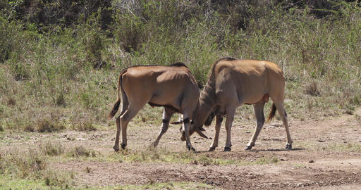 Cape Eland, taurotragus oryx, Males Fighting, Nairobi Park in Kenya, Masai Mara Park in Kenya, Real Live Action