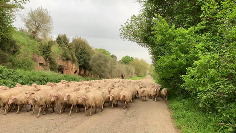 A big flock of sheeps walking on the road in the country Footage