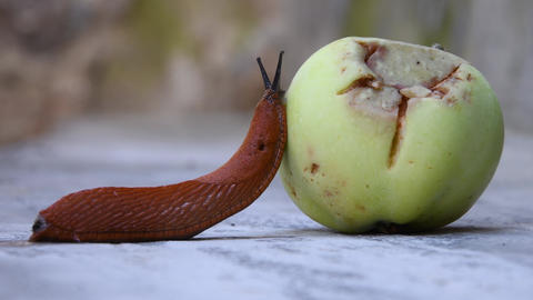 Roadside red slug eating a fallen Apple, a pest of orchards and gardens, the Spanish slug Footage