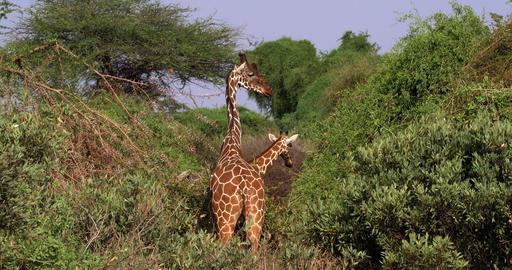 Reticulated Giraffe, giraffa camelopardalis reticulata, Pair at Samburu park in Kenya, Real Time 4K Live Action