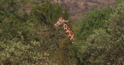 Reticulated Giraffe, giraffa camelopardalis reticulata, Samburu park in Kenya, Real Time 4K Live Action