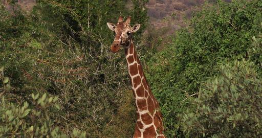 Reticulated Giraffe, giraffa camelopardalis reticulata, Samburu park in Kenya, Real Time 4K Live Action