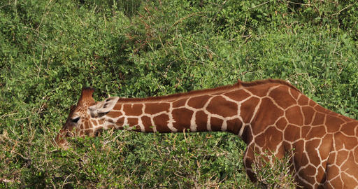 Reticulated Giraffe, giraffa camelopardalis reticulata, Adult eating Leaves, Samburu park in Kenya, Live Action