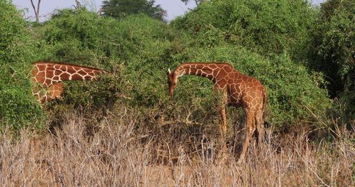 Reticulated Giraffe, giraffa camelopardalis reticulata, Pair eating Leaves, Samburu park in Kenya, Live Action