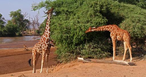 Reticulated Giraffe, giraffa camelopardalis reticulata, Adults eating Leaves, Samburu park in Kenya, Live Action