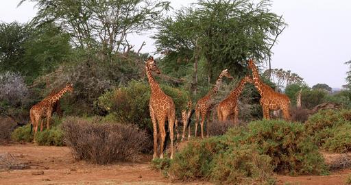 Reticulated Giraffe, giraffa camelopardalis reticulata, Group at Samburu park in Kenya, Real Time 4K Live Action