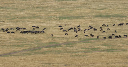 Blue Wildebeest, connochaetes taurinus, Herd during Migration, Masai Mara park in Kenya, Real Time Live Action