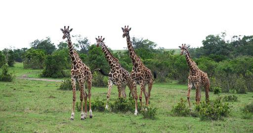 Masai Giraffe, giraffa camelopardalis tippelskirchi, Group standing in Savanna, Masai Mara Park in Live Action