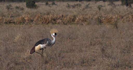 Grey Crowned Crane, balearica regulorum, Adult at Nairobi Park in Kenya, Real Time 4K Live Action