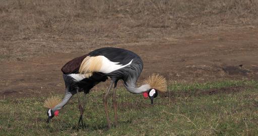 Grey Crowned Crane, balearica regulorum, Pair at Nairobi Park in Kenya, Real Time 4K Live Action