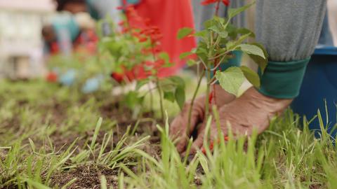 Hands of elderly woman planting flowers on green lawn in garden. Female gardener Live Action