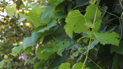 Grape Leaves a light breeze stirs Footage