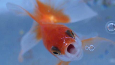 Goldfish Live Action