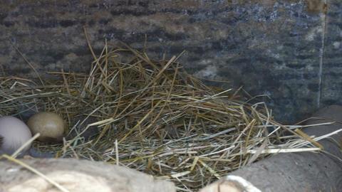 Farm Birds Eggs in Nest Footage