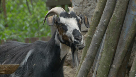 Domestic Goat Portrait Footage