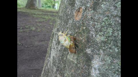 Adult emergence of cicada ビデオ