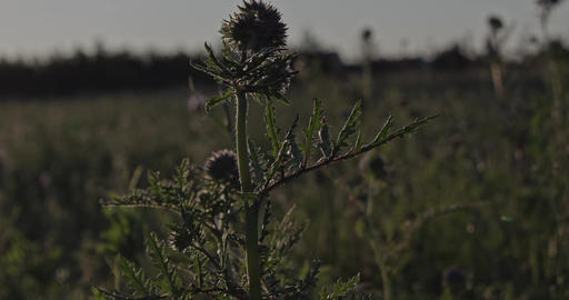 Wild herbal plant on a meadow at sunset. Captured in Slow Motion Live Action