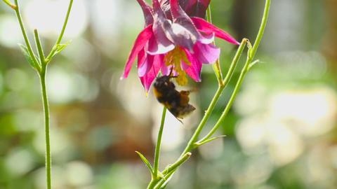 Bumblebee on aquilegia flower Footage