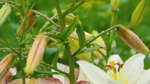 Orange Lily buds and white Lily flower after rain Footage