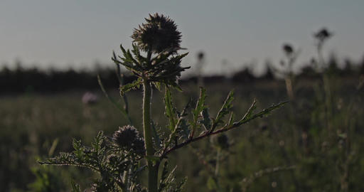 Wild herbal plant on a meadow at sunset.Captured in Slow Motion Live Action
