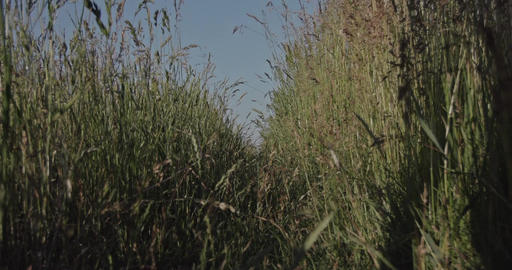 A path through a grassy herbal meadow at the countryside with high grass plants. Footage