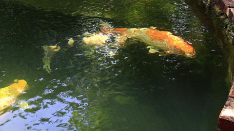 Koi, Fancy Carp are swimming in pond Footage