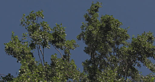 Waving branches with leaves of a Birch Tree with a cloudless blue sky in the bac Footage