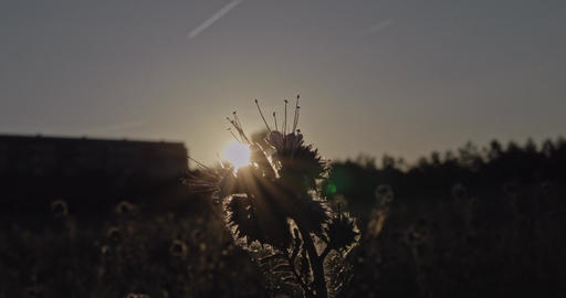 Wild herbal plant on a meadow at sunset with playing lens flares from the sun be Footage