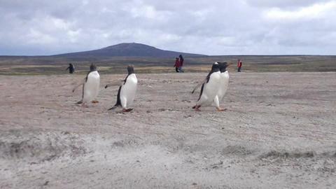 Gentoo penguins running on the beach at Volunteer Point, Falkland Islands Footage