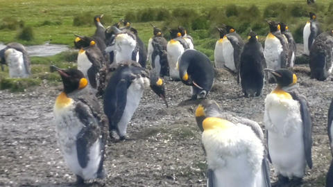 Colony of King Penguins at Volunteer Point, Falkland Islands Footage