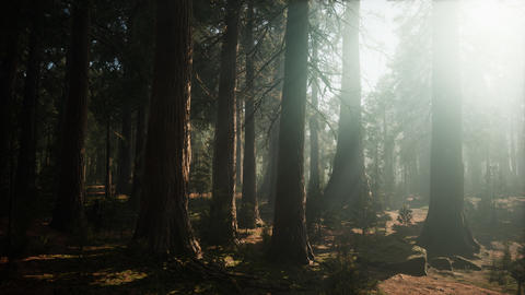 Giant Sequoia Trees at summertime in Sequoia National Park, California Live Action