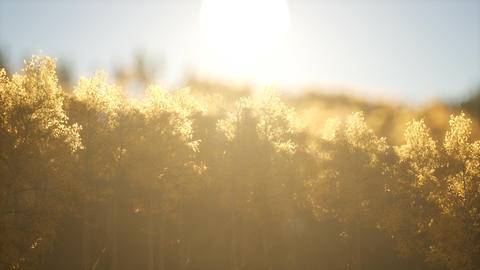 Pine forest on sunrise with warm sunbeams Footage