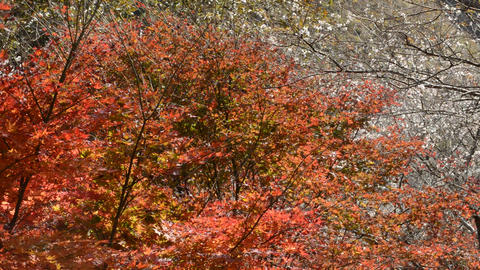 Fall in fine weather, colored leaves with autumn leaves and cherry blossoms in autumn 0187 Live Action