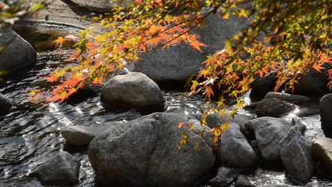 Focus on the surface of the water. The maple leaves and the light-shining river that is changing ライブ動画