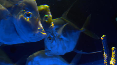 Sea fish swim in a large aquarium 007 Live Action