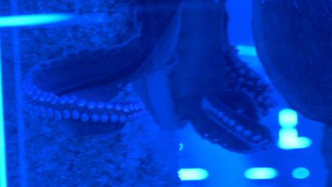 Octopus sitting in the aquarium 002 Live Action
