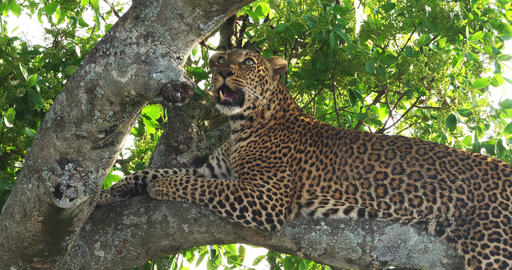 Leopard, panthera pardus, Adult standing in Tree, Masai Mara Park in Kenya, Real Time 4K Live Action
