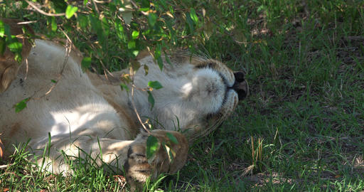 African Lion, panthera leo, Female sleeping, Masai Mara Park in Kenya, Real Time 4K Live Action