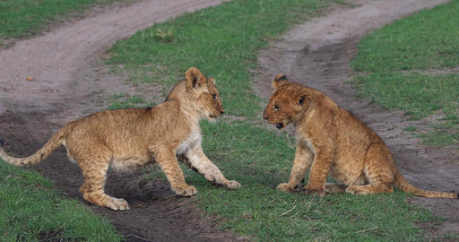 African Lion, panthera leo, Cubs playing, Masai Mara Park in Kenya, Real Time 4K Live Action