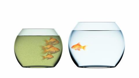 Goldfish Escapes Muddy and Overpopulated Aquarium Animation