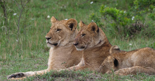 African Lion, panthera leo, Mother and Cubs, Masai Mara Park in Kenya, Real Time 4K Live Action
