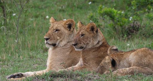 African Lion, panthera leo, Mother and Cubs, Masai Mara... Stock Video Footage